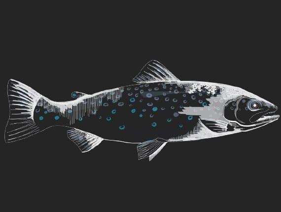 illustration-la-truite